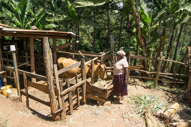 Elizabeth Muchiri, like most farmers around this area, owns a cow which produce milk for the family and manure for the coffee trees.