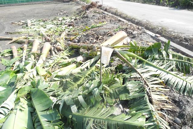 今年蘇迪勒風災,香蕉損失嚴重示意圖。攝影:廖靜蕙