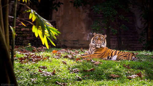 Animal Kingdom - A Rare Tiger | by Jeff Krause Photography