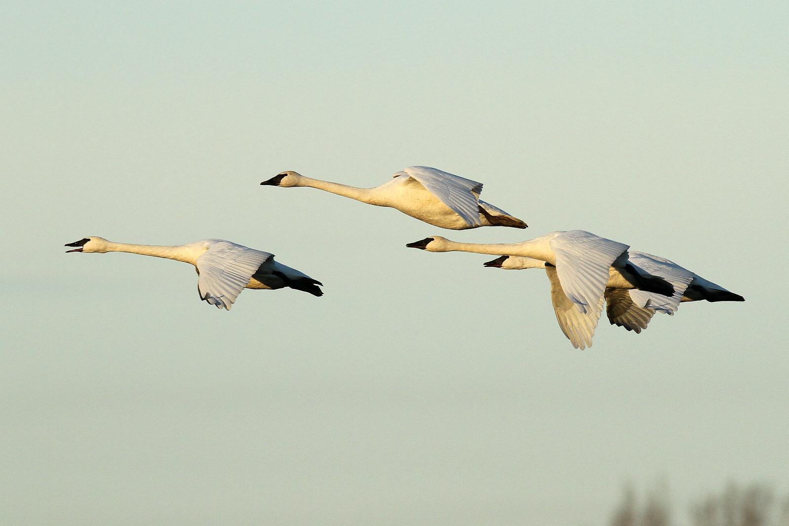 Cygnus buccinator (Trumpeter Swan) - Skagit, WA | by Nick Dean1