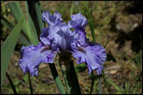 Iris broken color 21169520346_c5a23ffaf9