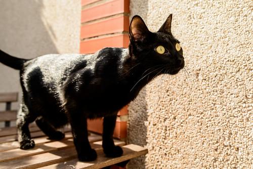 Selva, gatita Pantera guapa, estilizada y divertida esterilizada, nacida en Mayo´16, en adopción. Valencia. ADOPTADA. 32172566753_750331f5c0