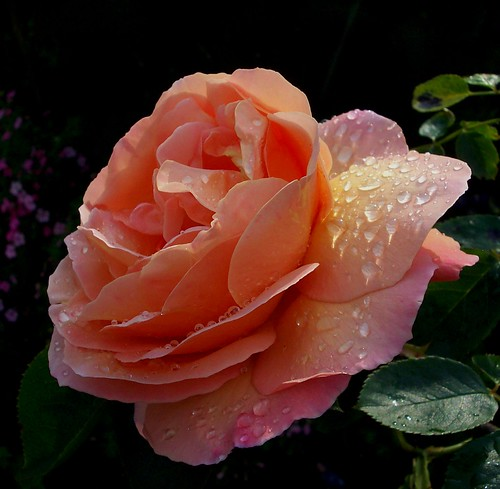 Coleraine pink garden rose after the rain | by Caroline, Kelly, Connor & Jesse