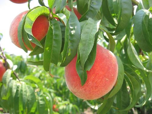 Georgia Peach Peaches At The U Pickpick Your Own Gregg