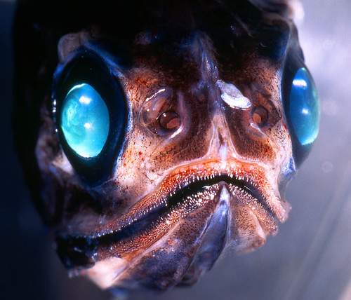 Myctophid lantern fish from here updated the link flickr for Deep sea fishes