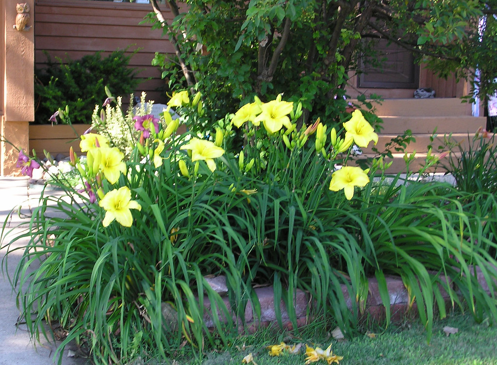 Harriet's yellow daylilies in front yard | normanack | Flickr