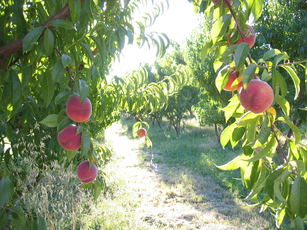 Peach Farm Oregon Want To Buy An Amazing 25 Acre