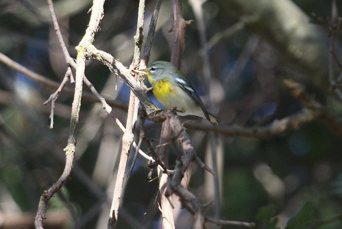 Northern Parula 1A | by Steve Hampton