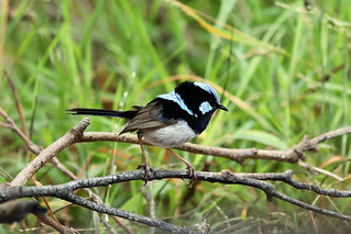 Superb fairy-wren | by dmmaus