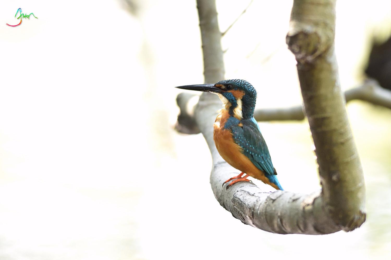 Common_Kingfisher_3062