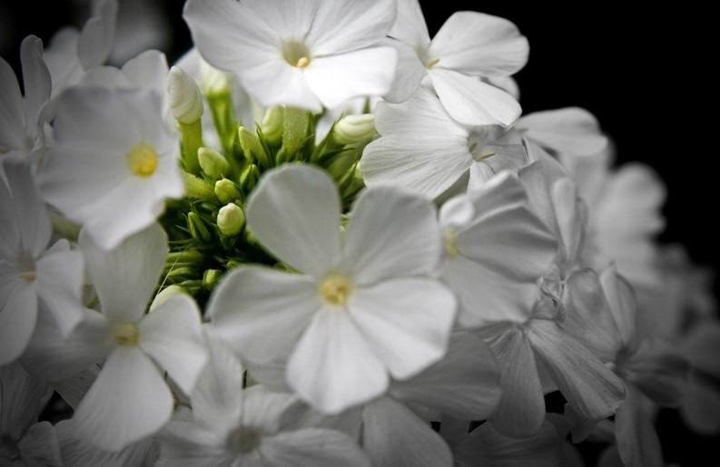 Phlox flower.