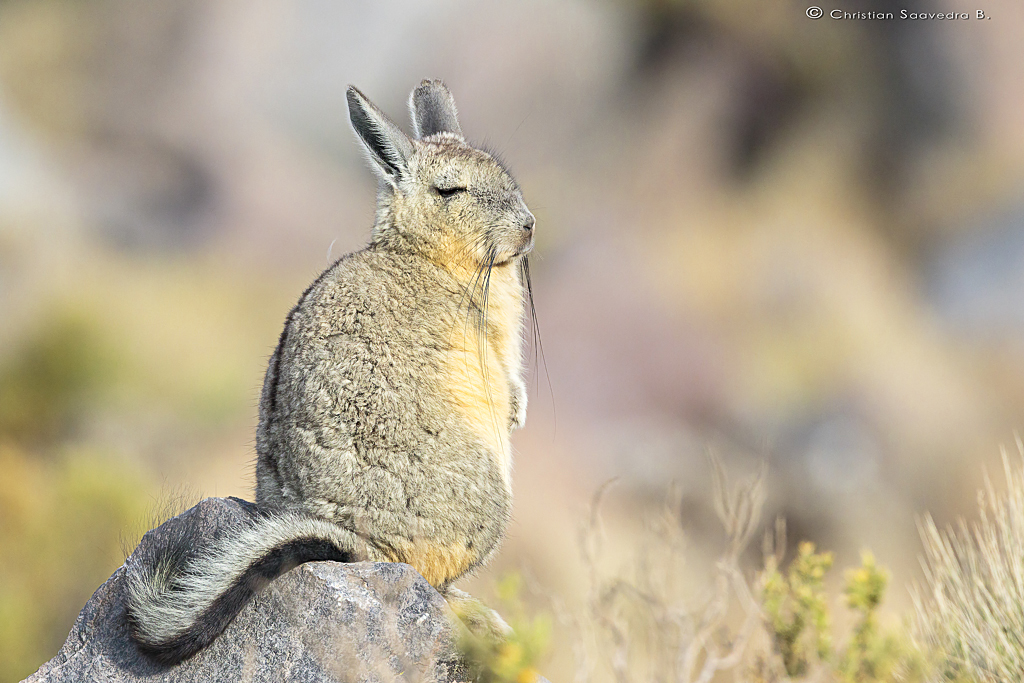 vizcacha de peru peruvian viscacha lagidium peruanum flickr. Black Bedroom Furniture Sets. Home Design Ideas