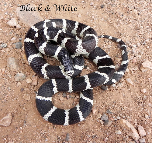 California Kingsnake - Black & White Banded morph from Mohave Co., AZ | by Tricolor Brian