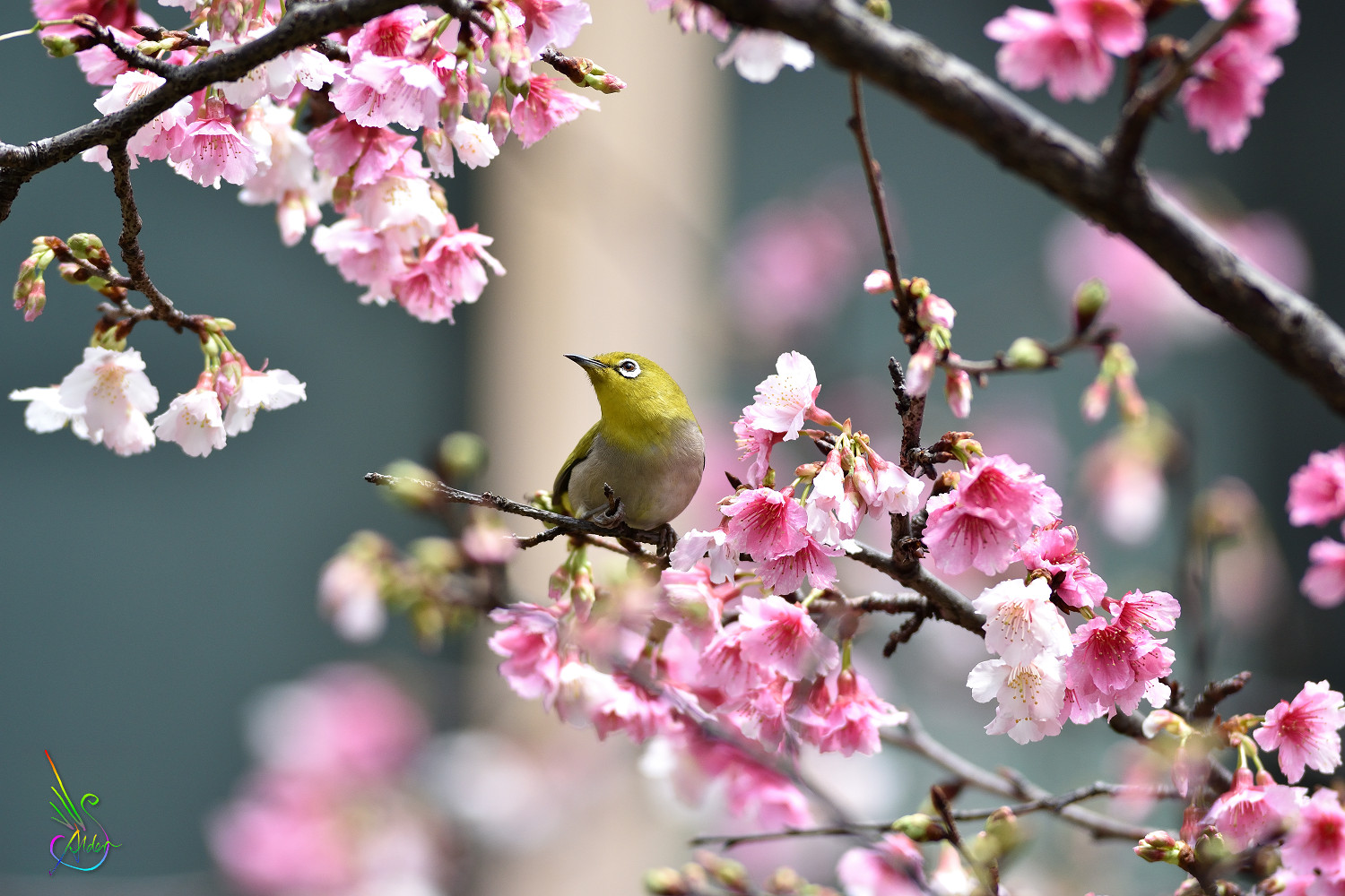 Sakura_White-eye_9419