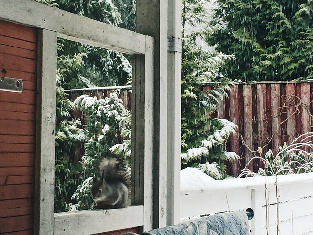 SquirrelWinterSnow, talvi, winter, eläin, animal, orava, kuisti, piha, squirrel, porch,