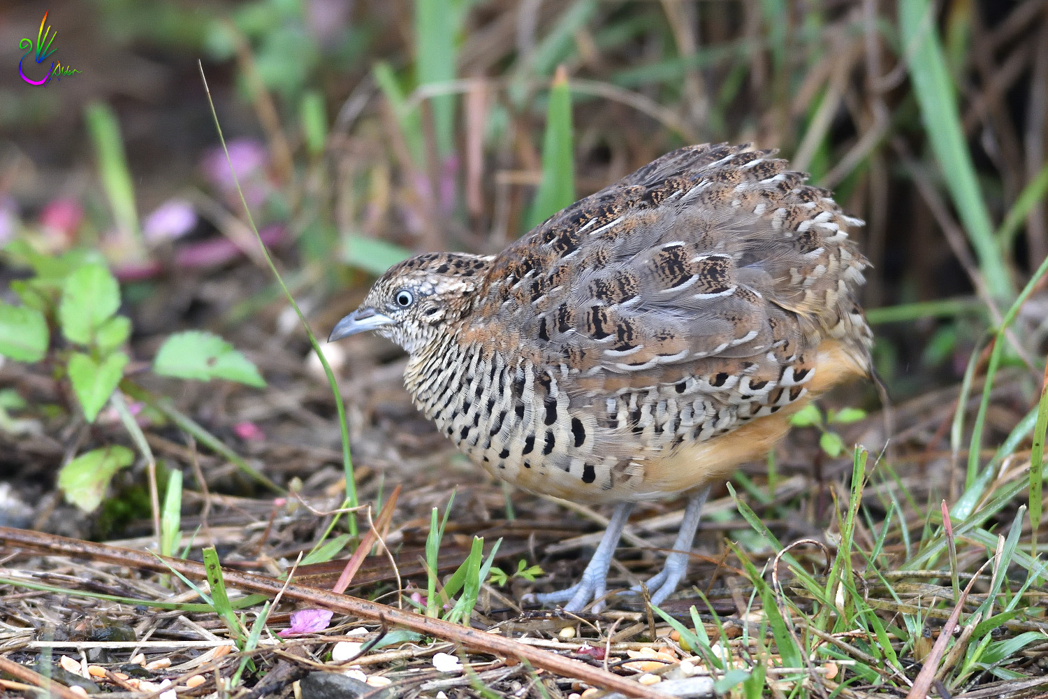 Barred_Buttonquail_7422