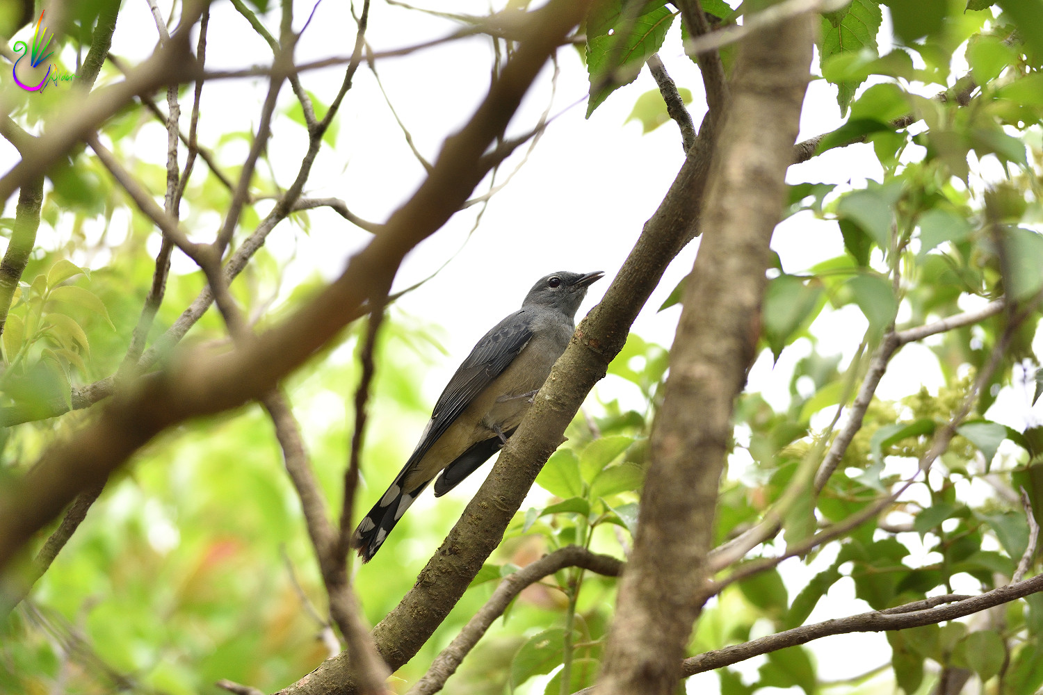 Black-winged_Cuckoo-shrike_8871
