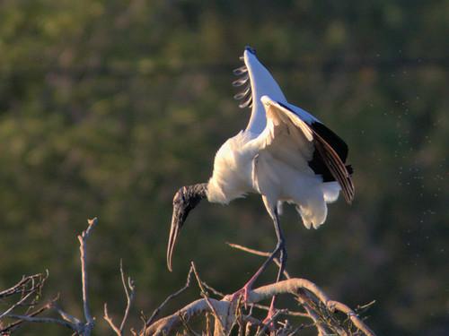 Wood Stork 05-20170408