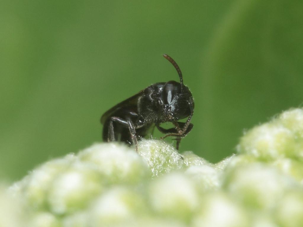 Image result for Hylaeus anthracinus