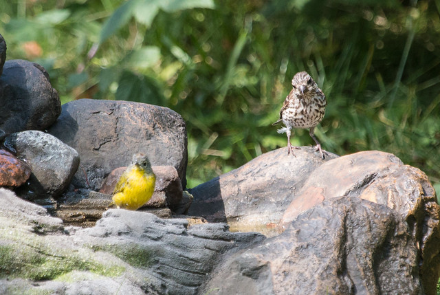 Purple Finch and Nashville Warbler at birdbath