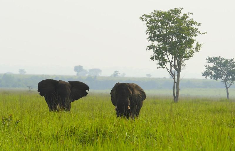 巨大象牙原本占有生存優勢,在人類介入之後,卻成為致命的特徵。圖片來源:賴亦德。
