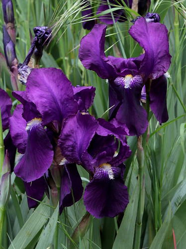 Iris x germanica 'Crimson King' - Barr and Sons 1893 21196386426_59cf4ce7f3