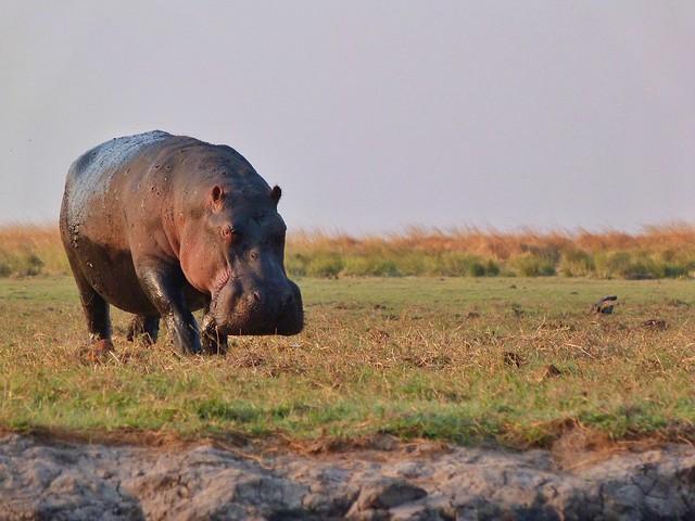 Hipopótamo en el Chobe (Botswana)