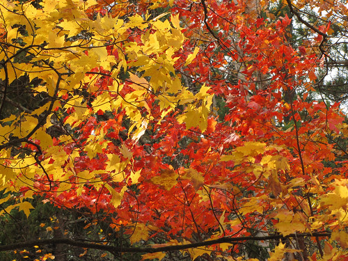Maples showing a variety of colors in Superior National Forest