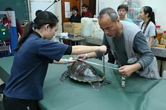 興大生科系吳聲海副教授(右)為綠蠵龜進行測量。中興大學公關組提供