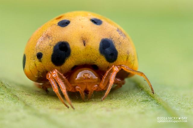 Ladybird spider (Paraplectana sp.) - DSC_7342