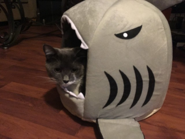 Cat in a shark
