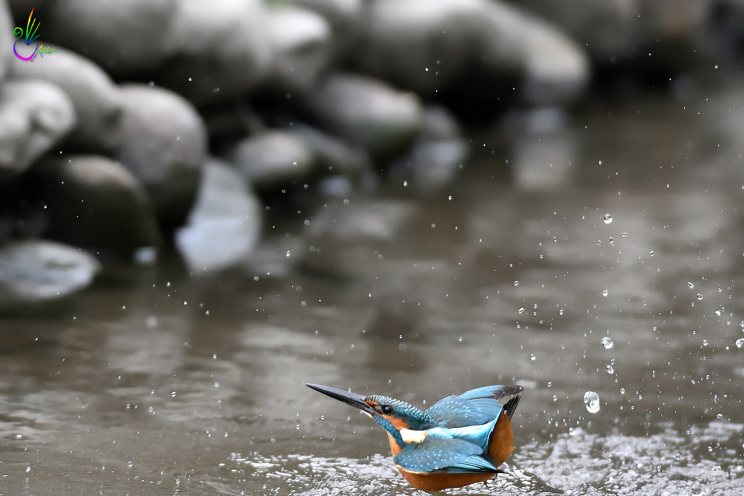 Common_Kingfisher_0981
