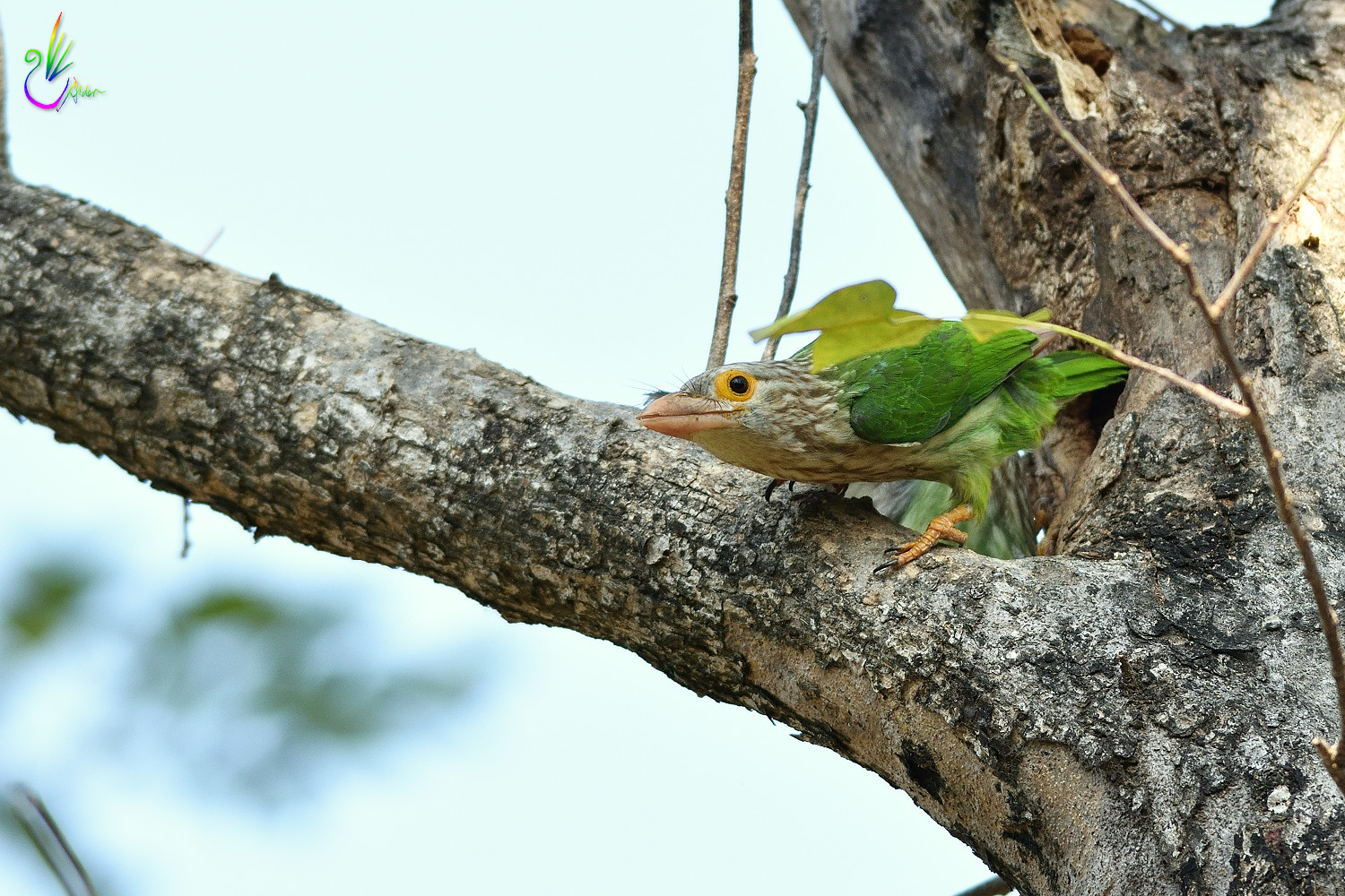 Lineated_Barbet_5900