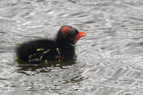 FL: Common Gallinule baby 2
