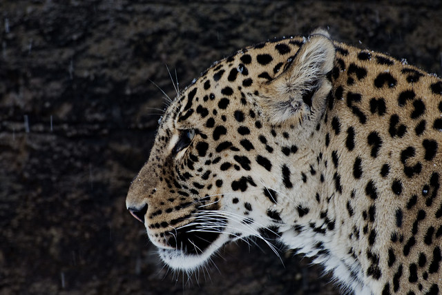Persischer Leopard im Tierpark Dälhölzli