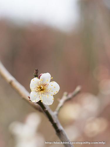 Ume blossoms 20170304 #03