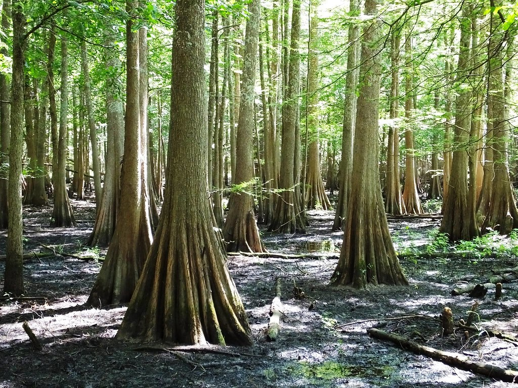 Bald Cypress Trees Bald Cypress Trees Do Well In Wet