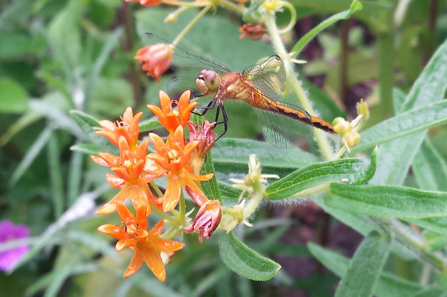 dragonfly perched on butterfly weed