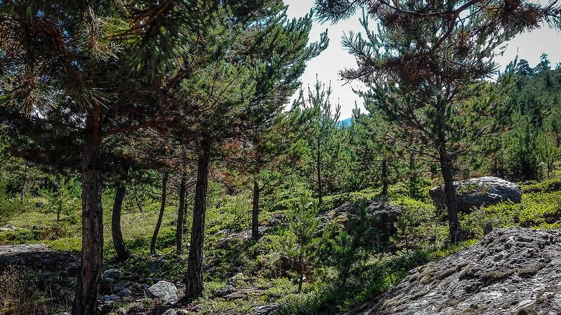 Pinos yendo al Bosc de Virós