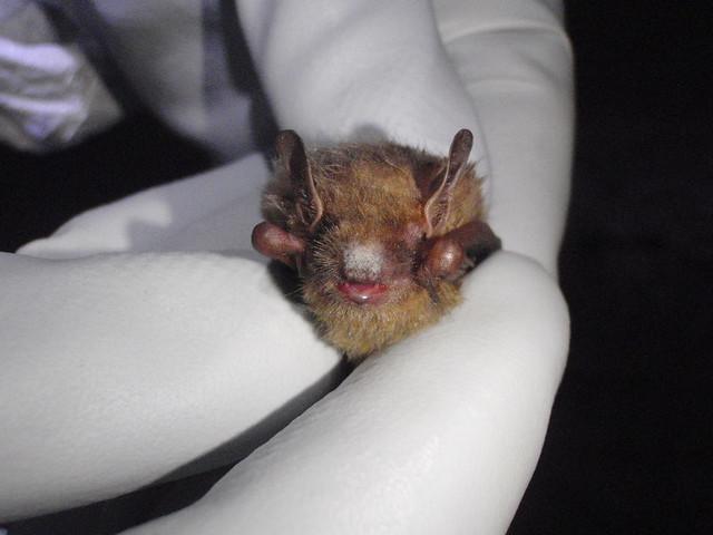 wns bat