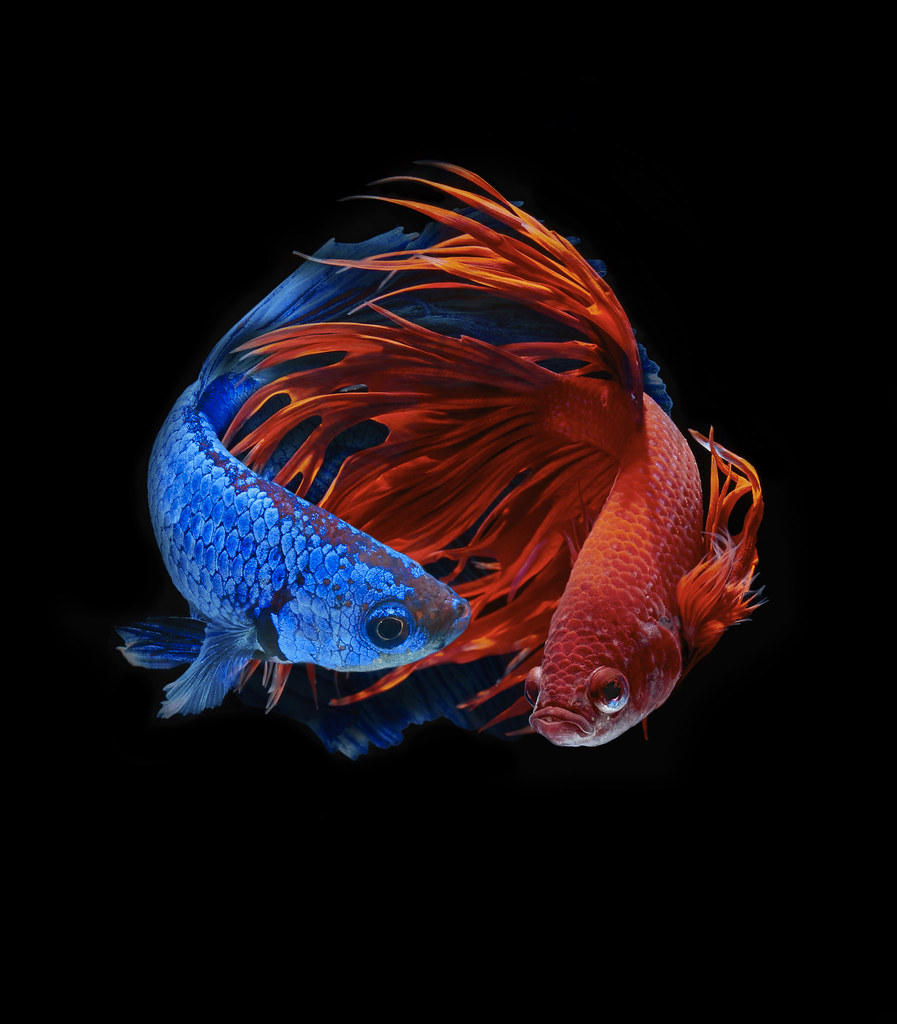 Betta fish | Betta fish, siamese fighting fish, betta splend ...
