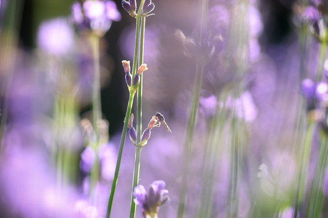 Hoverfly Among Lavender Flowers