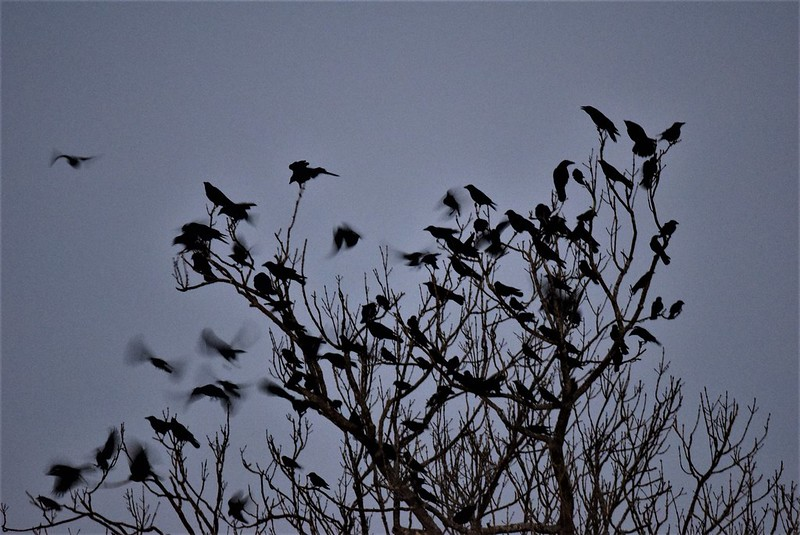 Crows 26.12 (9)