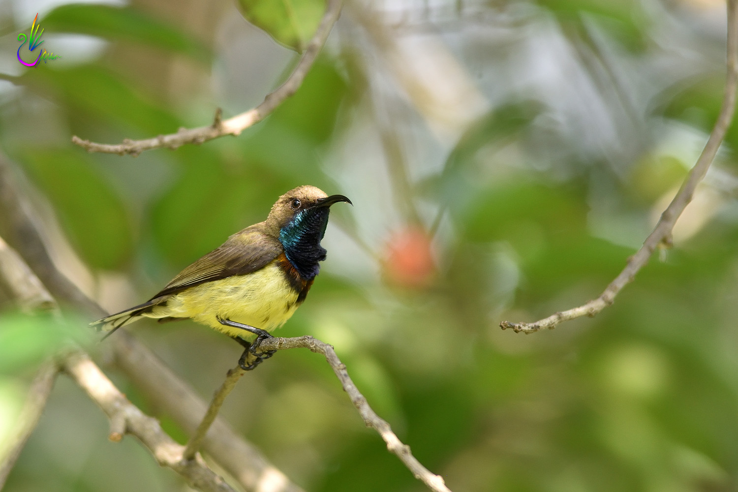 Olive-backed_Sunbird_2232