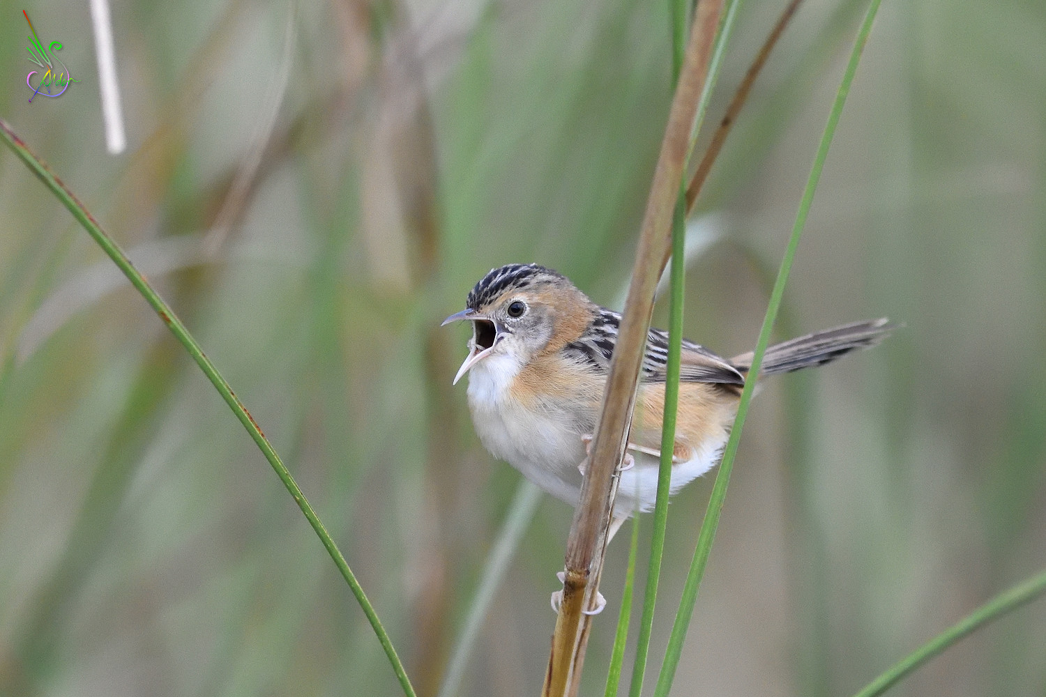 Golden-headed_Cisticola_7705