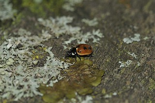 Hieroglyphic Ladybird | by markhows