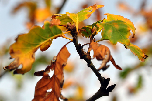 Plankstadt zwischen Mannheim Heidelberg botanischer Spaziergang Bäume Blätter Herbstverfärbung Strauch- und Baumlehrpfad Herbst Traubeneiche Oktober 2015 Foto Brigitte Stolle