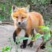 Fox Kit Up Close