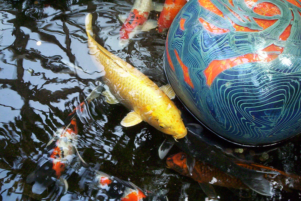 Koi fish chris barron flickr for What kind of fish am i