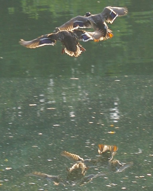 Mallard Ducks Flying Over Pond | Bill Bumgarner | Flickr